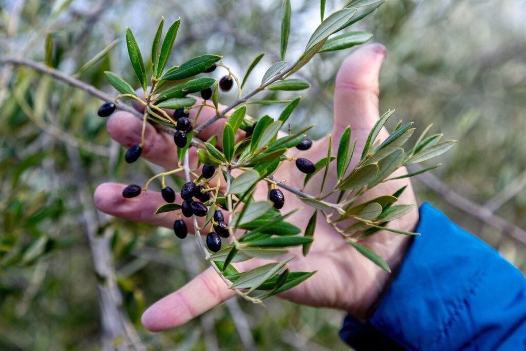 aceite-acebuche-virgen-extra-olivo