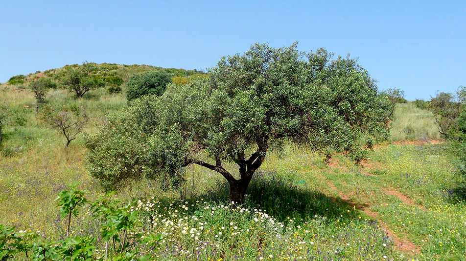 aceite-acebuche-olivo